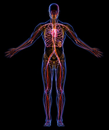 Human Circulatory and Lymphatic systems photo