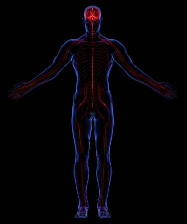 transparent system: Human nervous system Stock Photo