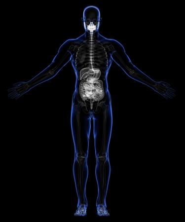 appendix ileum: Human Digestive System