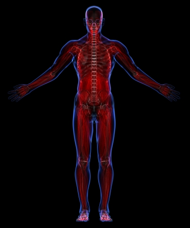 muscular system: Human muscular system