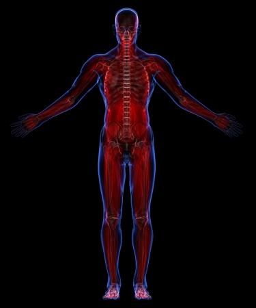 muscular build: Human muscular system