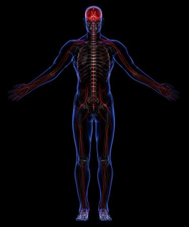 nervous system: Human skeleton and nervous system Stock Photo
