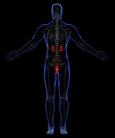 uretra: Esqueleto humano y el sistema urinario