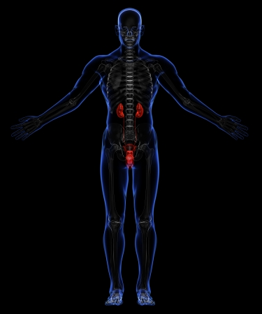 Human skeleton and urinary system Stock Photo - 18292541