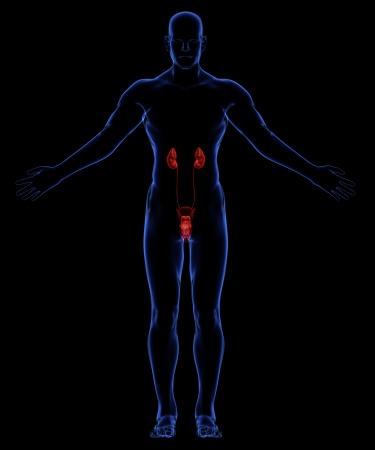 uretra: Sistema urinario humano Foto de archivo