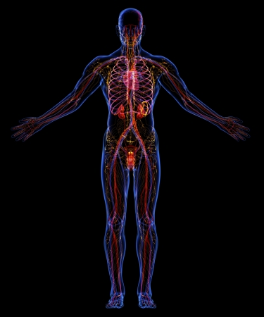 urinary system: Human urinary, lymphatic and circulatory system Stock Photo