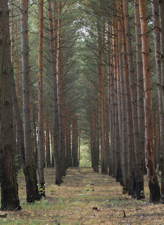 autumn pine trees forest