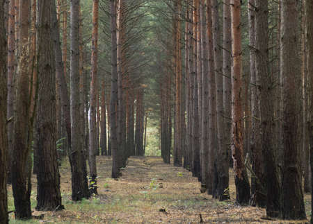 Shot of autumn pine tree forest Banco de Imagens