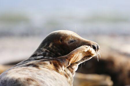 howler: Grey Seal (Halichoerus grypus), Helgoland, Schleswig-Holstein, Germany, Europe