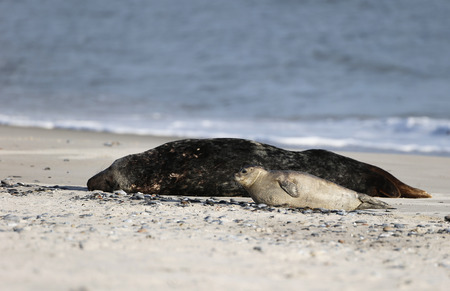 helgoland: Grey Seal (Halichoerus grypus), Helgoland, Schleswig-Holstein, Germany, Europe
