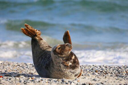 mammalia: Grey Seal (Halichoerus grypus), Helgoland, Schleswig-Holstein, Germany, Europe