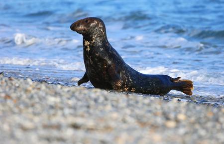 helgoland: Grey seal (Halichoerus grypus), Helgoland, Schleswig-Holstein, Germany, Europe Stock Photo