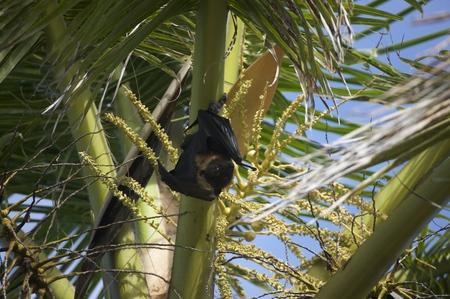 oceania: Fruitbat, Fiji Islands, Fiji, Sdsee, Oceania Stock Photo
