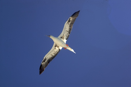 red palm oil: red-footed booby (Sula sula), Fiji Islands, Fiji, Oceania Stock Photo