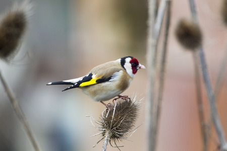 goldfinch: Goldfinch Carduelis carduelis, goldfinch on a thistle