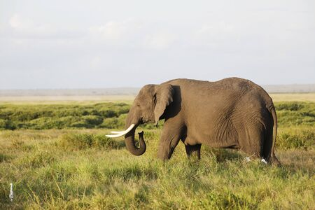 Elephants in Amboseli Nationalpark, Kenya, Africa