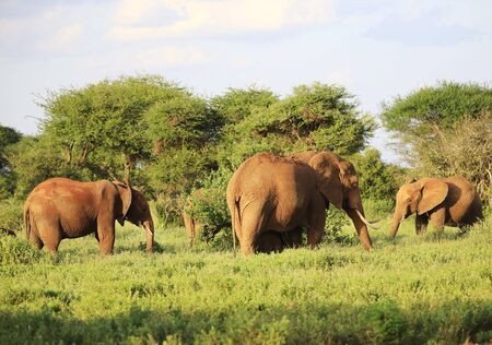 Elephants with red skin because of dust in Tsavo East Nationalpark, Kenya, Africa