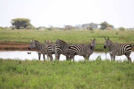 Zebras in Tsavo East National Park, Kenya, Africa