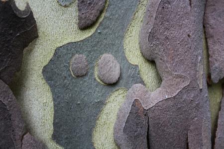 プラタナス: シカモア樹皮背景 写真素材
