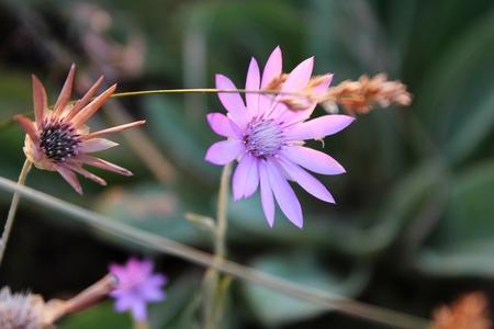 field of flower: Delicato pallido fiore di campo rosa Archivio Fotografico