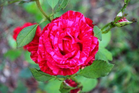 marbled effect: Jaspeado Rose