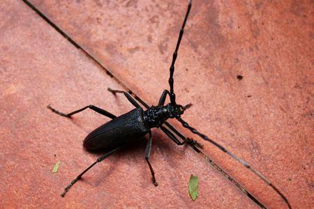 Mahseer beetle