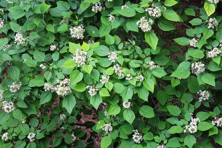catalpa: Green shawnee-wood (catalpa) leaves