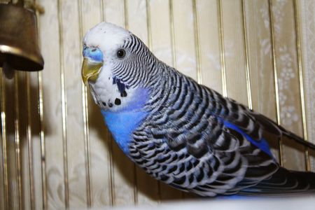 animal behavior: Young blue budgerigar in a cell
