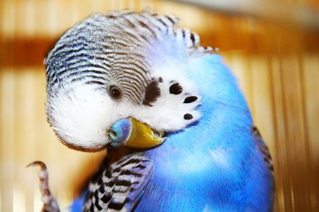 animal behavior: Blue budgerigar is cleaning feathers Stock Photo