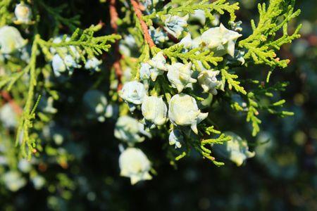 Young cypress cones 免版税图像