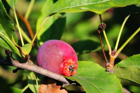 quince: Apple quince