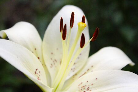 white lily: White Lily