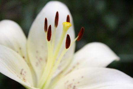 white lily: Lily White  Foto de archivo