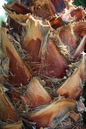 Hairy Palm tree trunk Standard-Bild