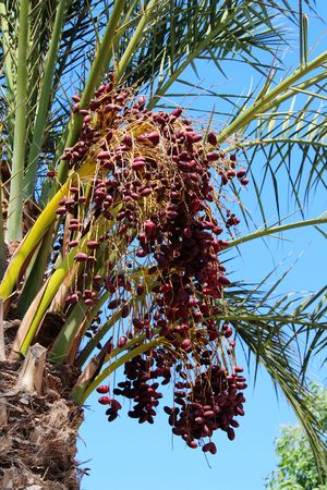 종려 나무 과일