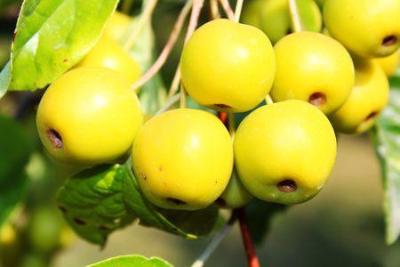 옐로우 파라다이스 사과