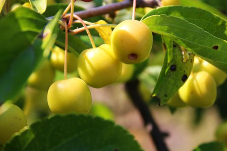 Yellow Paradise Apples
