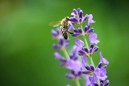 라벤더 꽃에 꿀벌