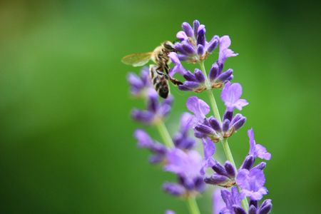 Bee on lavender flowers Archivio Fotografico