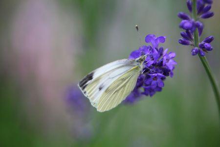 라벤더 꽃에 양배추 나비