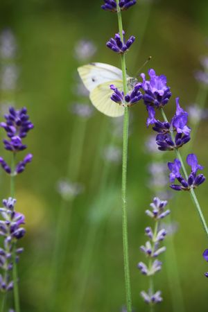 Cabbage butterfly on lavender flowers