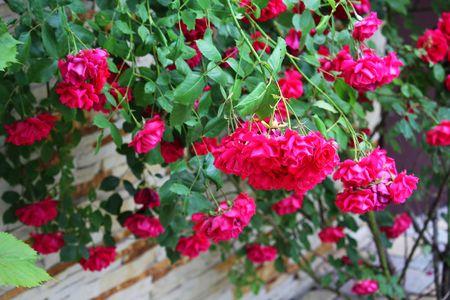 Roses on the bush