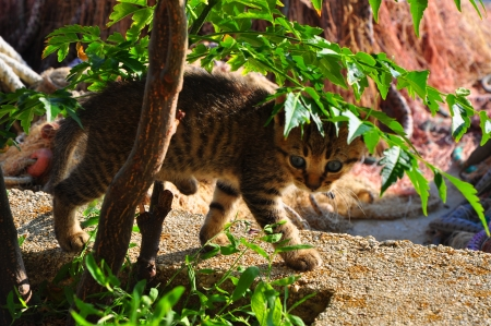 baby tiger: Bambino tigre
