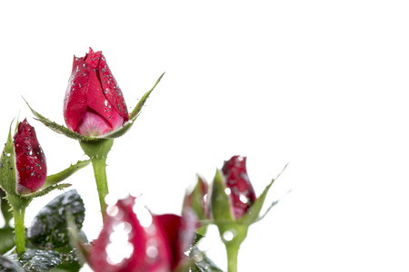 strass: Roses with glitter on a white background