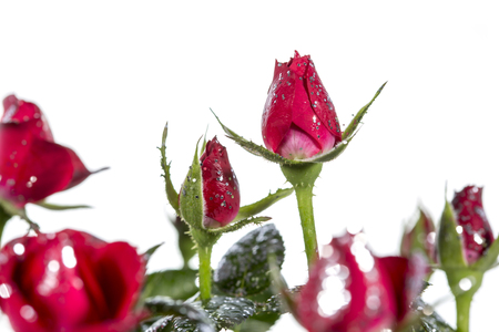 Roses with glitter on a white background