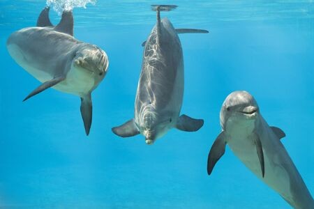 3 playful dolphins underwater