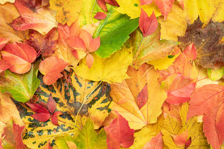 Colorful autumn leaves that have fallen from the tree