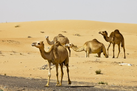 Camel in the Desert from Dubai Stock Photo - 11871372