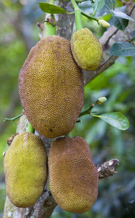 Jack Fruit Thailand Stock Photo - 12720137