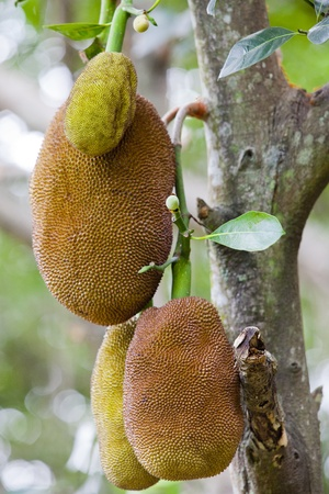 Jack Fruit in Thailand Stock Photo - 12852319